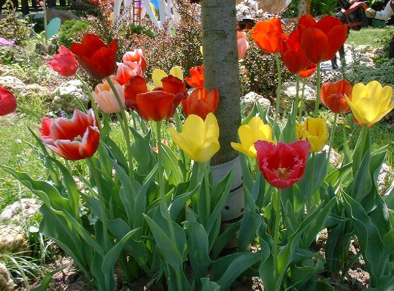 spring_tulips-1183